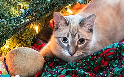 A cat hides in a Christmas tree with his toy.