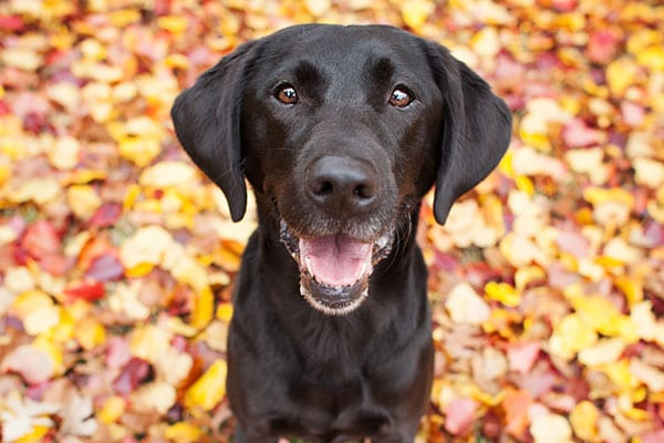 Fall & Halloween Pet Safety in Edmond: Dog Standing in Autumn Leaves